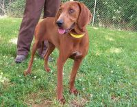 Redbone Coonhound Puppies for sale in Sweetwater, TN 37874, USA. price: NA