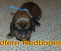Redbone Coonhound Puppies for sale in East Los Angeles, CA, USA. price: NA