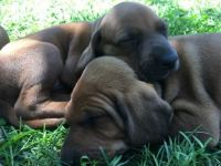 Redbone Coonhound Puppies for sale in West Plains, MO 65775, USA. price: NA