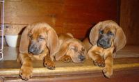 Redbone Coonhound Puppies for sale in Escondido, CA, USA. price: NA