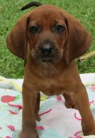 Redbone Coonhound Puppies for sale in Boston, MA, USA. price: NA