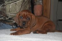 Redbone Coonhound Puppies for sale in Melrose, WI 54642, USA. price: NA