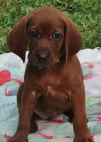 Redbone Coonhound Puppies for sale in Duluth, GA, USA. price: NA