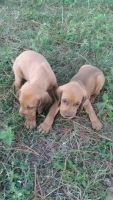 Redbone Coonhound Puppies for sale in Headland, AL, USA. price: NA