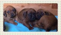 Redbone Coonhound Puppies for sale in Ojai, CA 93023, USA. price: NA