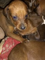 Redbone Coonhound Puppies for sale in Lockwood, NY 14859, USA. price: NA