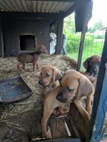 Redbone Coonhound Puppies for sale in Hillsboro, OH 45133, USA. price: NA