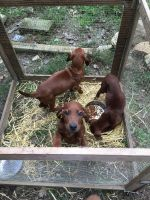 Redbone Coonhound Puppies for sale in Hot Springs, NC 28743, USA. price: NA