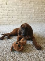 Redbone Coonhound Puppies for sale in Scottsdale Ranch, Scottsdale, AZ, USA. price: NA
