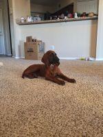 Redbone Coonhound Puppies Photos