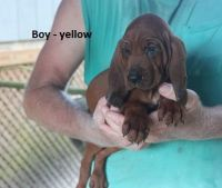 Redbone Coonhound Puppies for sale in Astor, FL 32102, USA. price: NA
