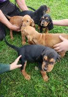 Redbone Coonhound Puppies for sale in Interlaken, NY 14847, USA. price: NA