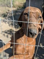 Redbone Coonhound Puppies for sale in Edgemont, AR 72044, USA. price: NA