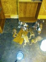 Redbone Coonhound Puppies for sale in Mocksville, NC 27028, USA. price: NA