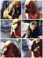 Redbone Coonhound Puppies for sale in North East, MD 21901, USA. price: NA