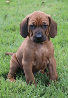 Redbone Coonhound Puppies for sale in Stanton, IA 51573, USA. price: NA