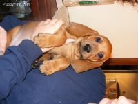Redbone Coonhound Puppies for sale in Seattle, WA, USA. price: NA