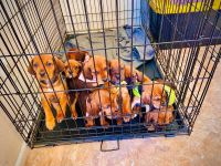 Redbone Coonhound Puppies for sale in Tulsa, OK, USA. price: NA