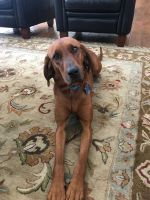 Redbone Coonhound Puppies for sale in Flagstaff, AZ, USA. price: NA
