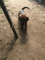 Redbone Coonhound Puppies for sale in Blanco, TX 78606, USA. price: NA
