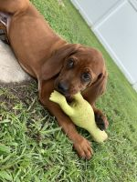 Redbone Coonhound Puppies for sale in Jacksonville, NC, USA. price: NA