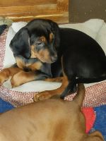 Redbone Coonhound Puppies for sale in Johns Island, SC, USA. price: NA