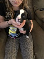 Renascence Bulldogge Puppies for sale in Greenfield, IN 46140, USA. price: NA