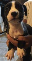 Renascence Bulldogge Puppies for sale in Phoenix, AZ, USA. price: NA