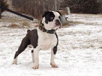renascence bulldogge dog
