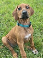 Rhodesian Ridgeback Puppies for sale in Friendswood, TX, USA. price: NA