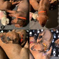Rhodesian Ridgeback Puppies for sale in Burleson, TX, USA. price: NA