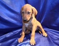 Rhodesian Ridgeback Puppies for sale in San Diego, CA, USA. price: NA