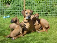 Rhodesian Ridgeback Puppies for sale in Los Angeles, CA, USA. price: NA