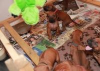 Rhodesian Ridgeback Puppies for sale in Pleasantville, PA 16341, USA. price: NA