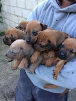 Rhodesian Ridgeback Puppies for sale in Round Rock, TX, USA. price: NA