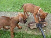 Rhodesian Ridgeback Puppies for sale in Jersey City, NJ, USA. price: NA