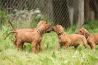 Rhodesian Ridgeback Puppies for sale in 58503 Rd 225, North Fork, CA 93643, USA. price: NA