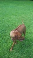 Rhodesian Ridgeback Puppies for sale in Fort Myers, FL, USA. price: NA