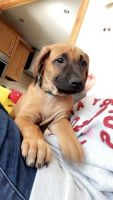 Rhodesian Ridgeback Puppies for sale in OR-99W, McMinnville, OR 97128, USA. price: NA