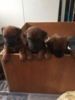 Rhodesian Ridgeback Puppies for sale in Bloomfield Ave, Bloomfield, CT 06002, USA. price: NA