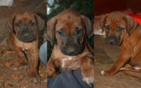 Rhodesian Ridgeback Puppies for sale in New York, NY, USA. price: NA