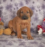 Rhodesian Ridgeback Puppies for sale in Texas Ave, Houston, TX, USA. price: NA