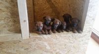 Rhodesian Ridgeback Puppies for sale in Oakland, CA 94624, USA. price: NA