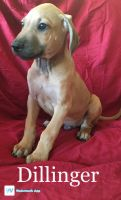 Rhodesian Ridgeback Puppies for sale in Booneville, AR 72927, USA. price: NA