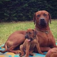 Rhodesian Ridgeback Puppies for sale in Portland, OR, USA. price: NA
