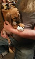 Rhodesian Ridgeback Puppies for sale in Titusville, PA 16354, USA. price: NA