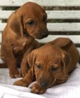 Rhodesian Ridgeback Puppies for sale in Fort Worth, TX, USA. price: NA