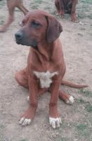 Rhodesian Ridgeback Puppies for sale in Walhonding, OH 43843, USA. price: NA