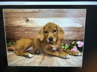 Rhodesian Ridgeback Puppies for sale in 2573 E Pikes Peak Ave, Colorado Springs, CO 80909, USA. price: NA