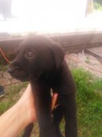 Rhodesian Ridgeback Puppies for sale in Glouster, OH 45732, USA. price: NA